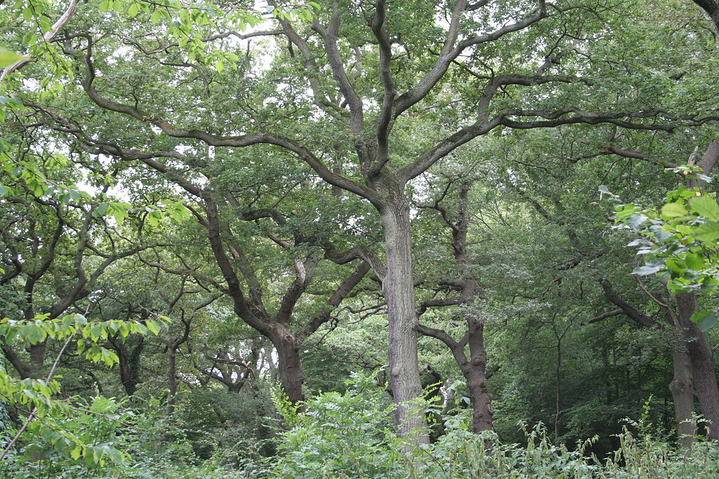Queen's Wood - Wikipedia
